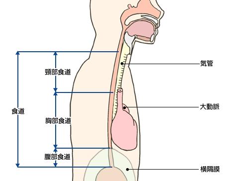 食道の構造
