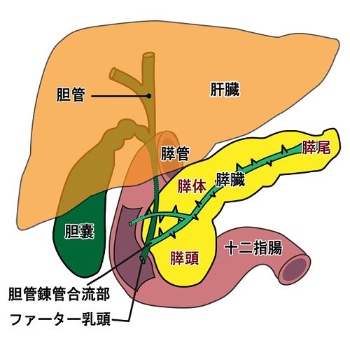 膵臓の機能